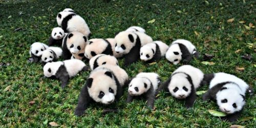 Rahasia Warna Hitam-Putih Pada Tubuh Panda