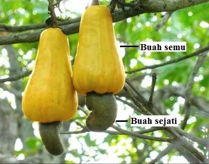 Kacang Mete Bagian Buah Yang Sesungguhnya
