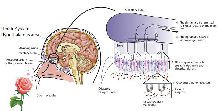 Hidung Manusia Mampu Mengenal Satu Triliun Aroma