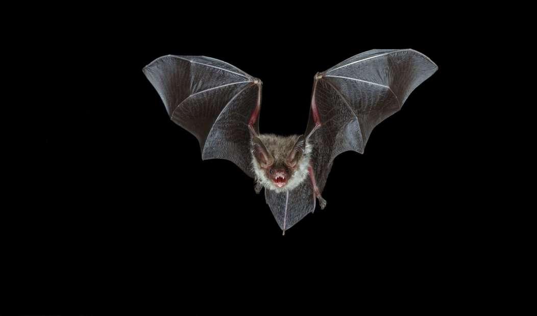 Mengapa Kelelawar Mampu Membawa Virus Mematikan Tetapi Tidak Sakit ?
