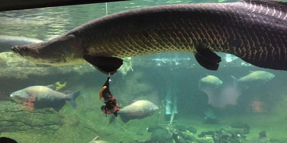 Ini 5 Fakta Unik Ikan Arapaima Gigas