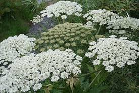 The giant hogweed