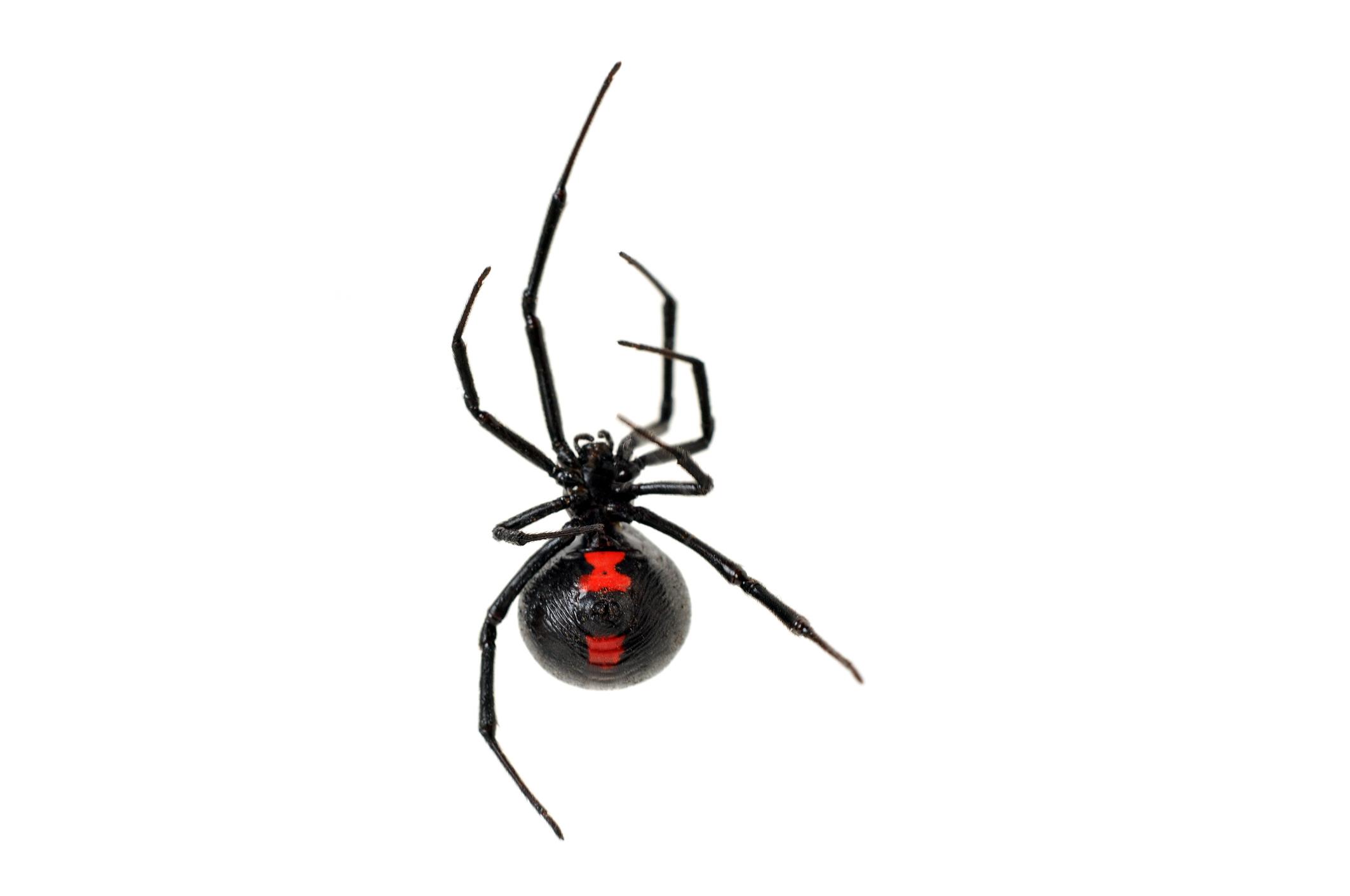 Wow Jaring Laba-laba Black Widow Lima Kali Lebih Kuat Dibandingkan Baja !