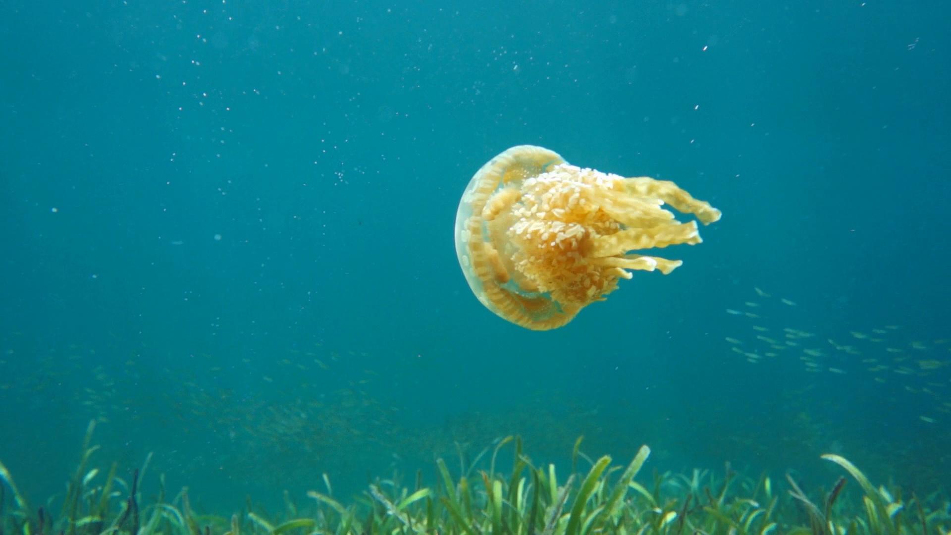 LIPI Himbau Waspadai 3 Jenis Ubur-ubur di Pantai Ancol